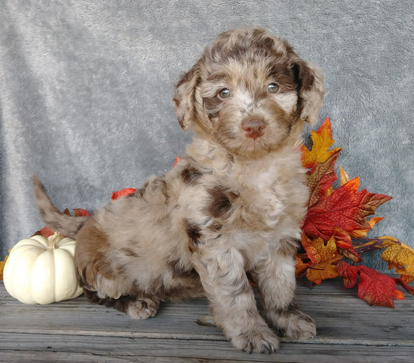 F1B Medium Labradoodle For Sale Millersburg, OH Female- Daisy
