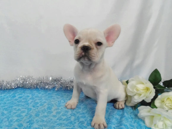 AKC Registered French Bulldog For Sale Wooster OH, Male- Dakota