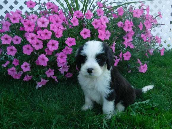 F1B Sheepadoodle For Sale Baltic, OH Male- Danny