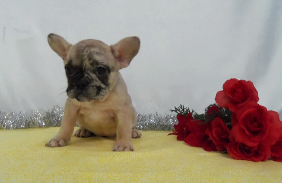 AKC Registered French Bulldog For Sale Wooster OH, Female- Dawn