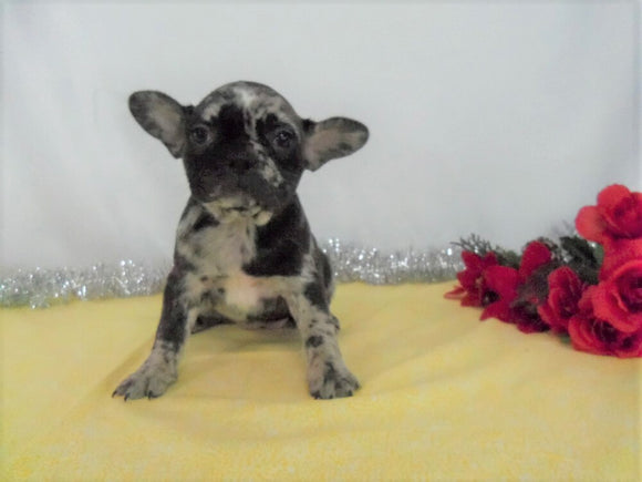 AKC Registered French Bulldog For Sale Wooster OH, Female- Della
