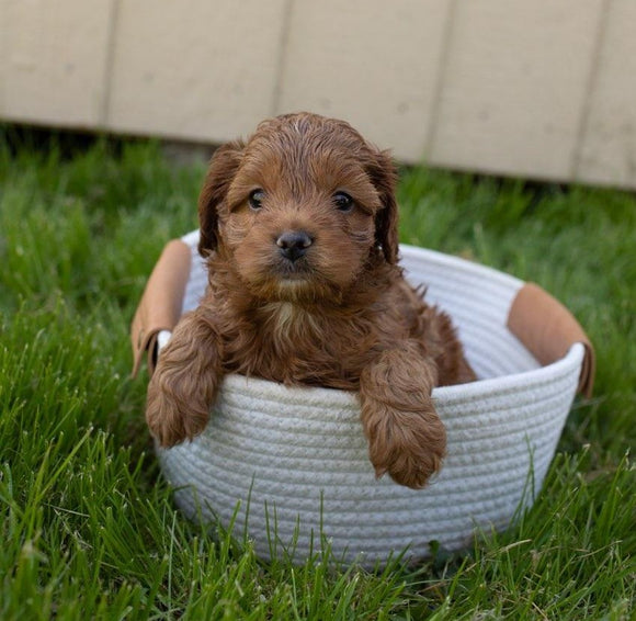 Cockapoo For Sale Fredericksburg, OH Male- Dexter