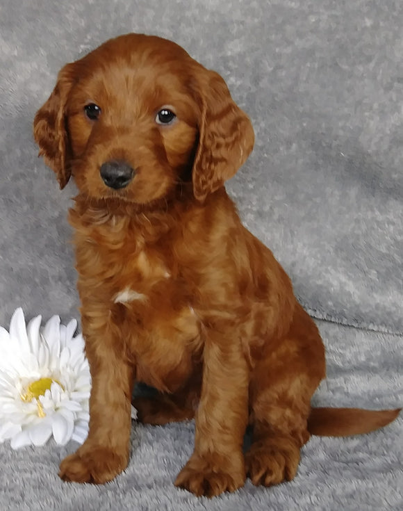 Goldendoodle For Sale Millersburg, OH Male- Dr Pepper