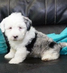 Mini Sheepadoodle For Sale Holmesville, OH Male- Dusty -BLUE MERLE-