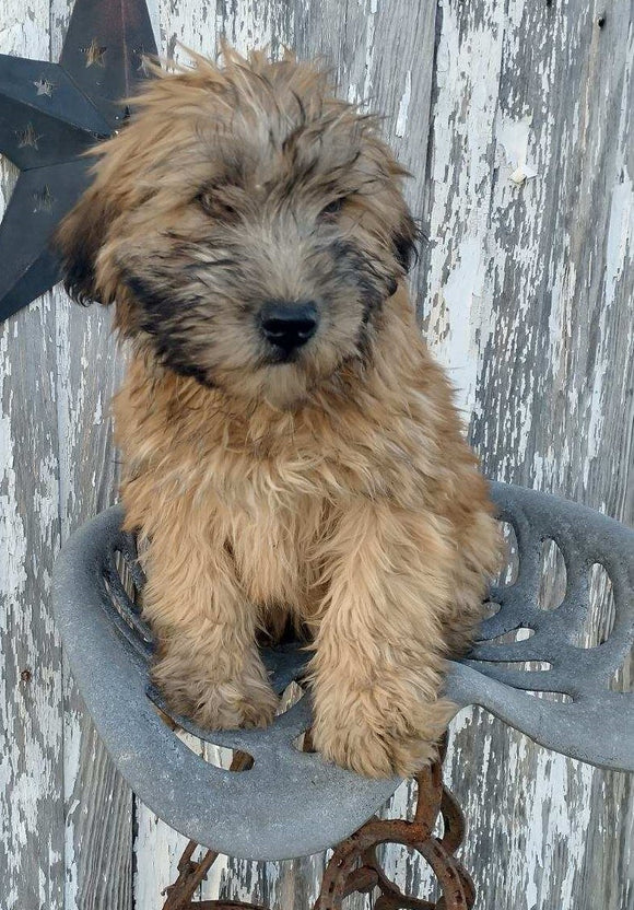 AKC Registered Soft Coated Wheaten Terrier For Sale Fredericksburg, OH Male- Dusty