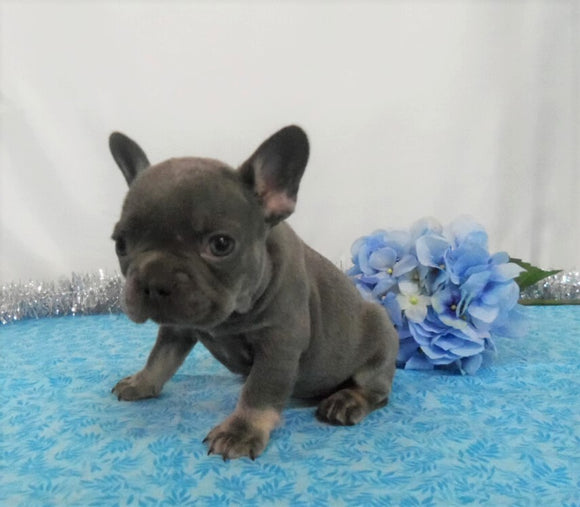 AKC Registered French Bulldog For Sale Wooster OH, Male- Earl