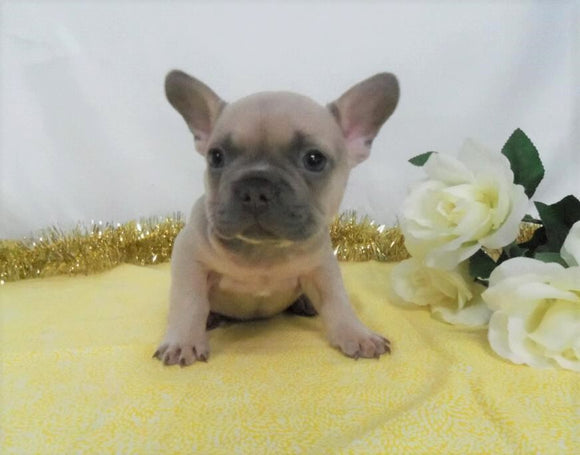 AKC Registered French Bulldog For Sale Wooster OH, Male- Edgar