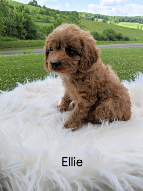 Cavapoo For Sale Dundee, OH Female- Ellie