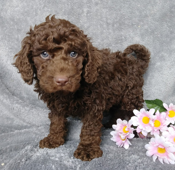Medium F1B Labradoodle For Sale Millersburg, OH Male- Elmo