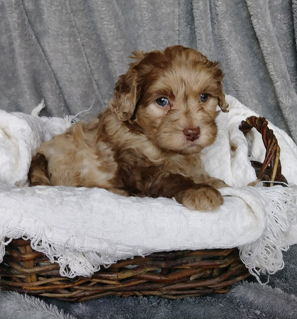 Mini Labradoodle For Sale Millersburg, OH Female- Emma