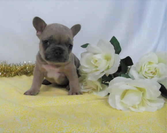 AKC Registered French Bulldog For Sale Wooster OH, Male- Erin