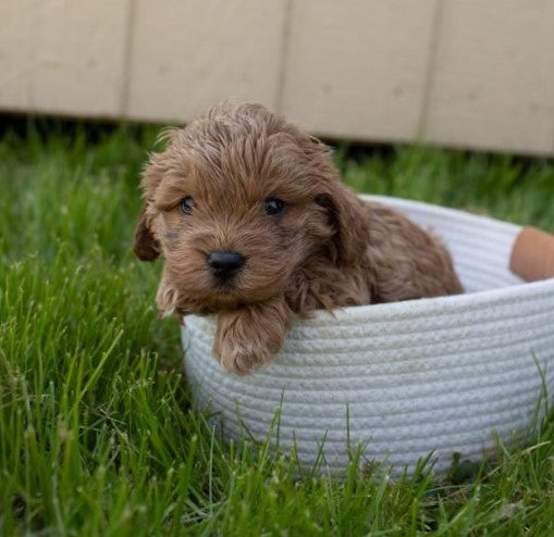 Cockapoo For Sale Fredericksburg, OH Male- Everest