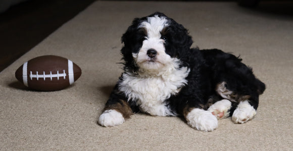 Mini Bernedoodle For Sale Fredericksburg, OH Female- Flossie