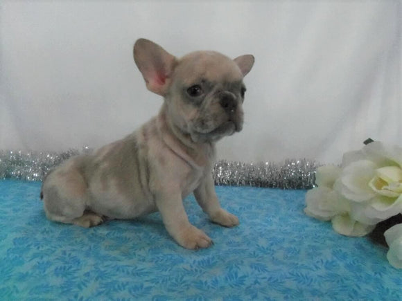 AKC Registered French Bulldog For Sale Wooster, OH Male- Frankie
