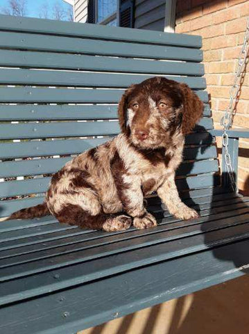 Mini Labradoodle For Sale Millersburg, OH Male- Archer