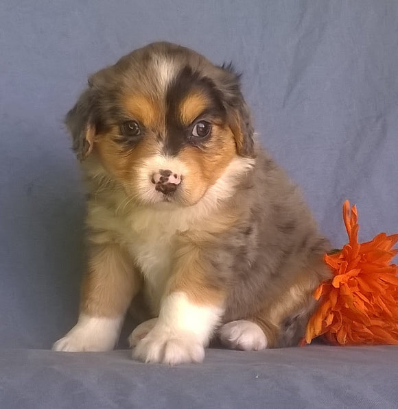 Mini Aussiedoodle For Sale Berlin, OH Male- Freckles