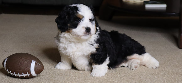 Mini Bernedoodle For Sale Fredericksburg, OH Male- Frisky