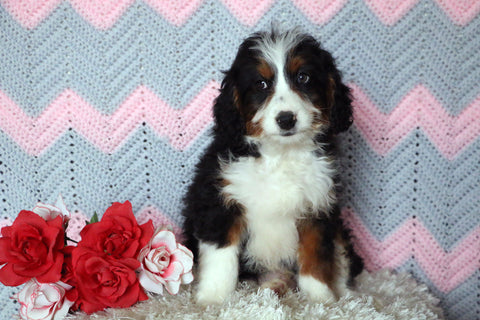 Mini Bernedoodle Puppy For Sale Mansfield, OH Male- Frisky