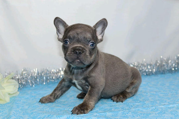 AKC Registered French Bulldog For Sale Wooster, OH Male- Gabriel