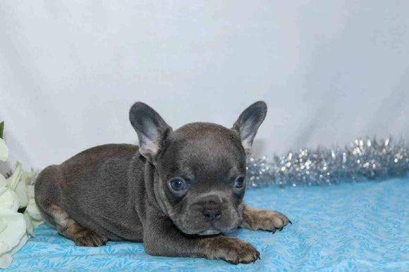 AKC Registered French Bulldog For Sale Wooster, OH Male- Galen