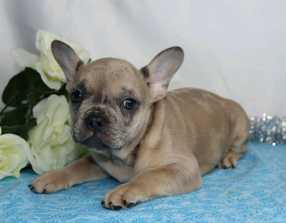 AKC Registered French Bulldog For Sale Wooster, OH Male- Gallant
