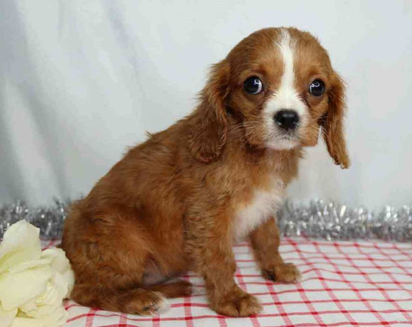 AKC Registered Cavalier King Charles Spaniel For Sale Wooster, OH Male- Gareth