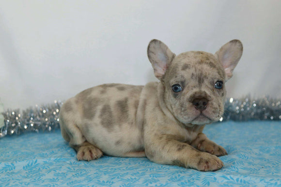 AKC Registered French Bulldog For Sale Wooster, OH Male- Garland