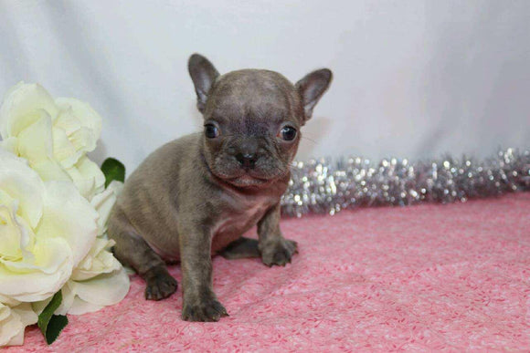 AKC Registered French Bulldog For Sale Wooster, OH Female- Gina