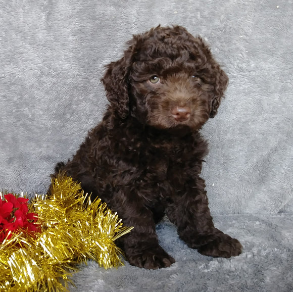 Mini Labradoodle For Sale Millersburg, OH Male- Ginger