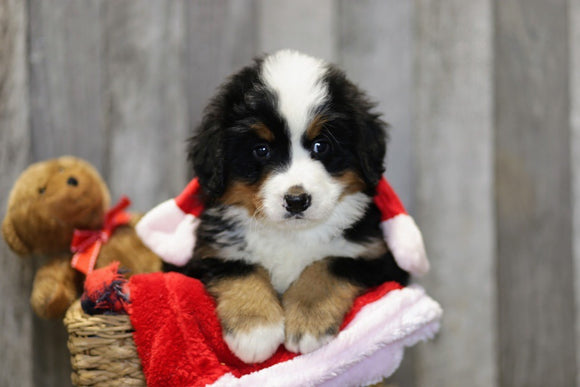 AKC Registered Bernese Mountain Dog For Sale Brinkhaven, OH Male- Hank