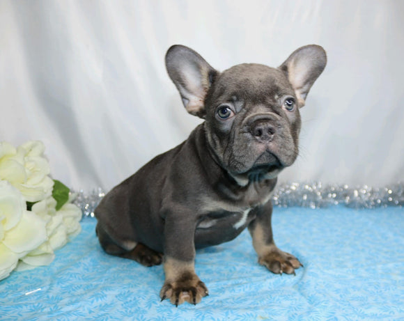 AKC Registered French Bulldog For Sale Wooster, OH Male- Hanley