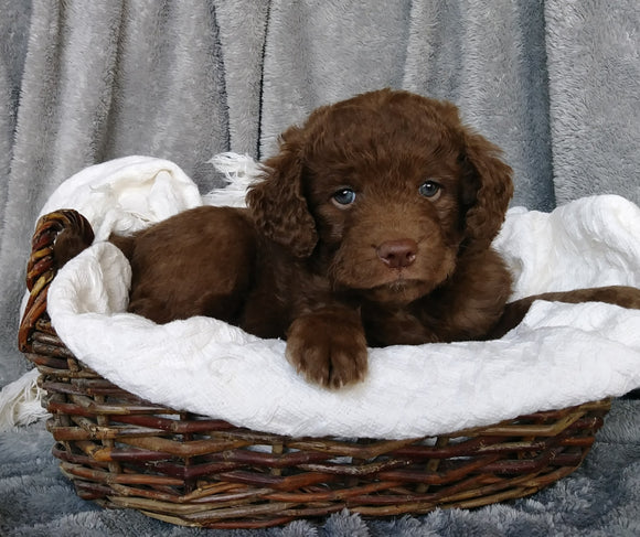 Mini Labradoodle For Sale Millersburg, OH Male- Henry