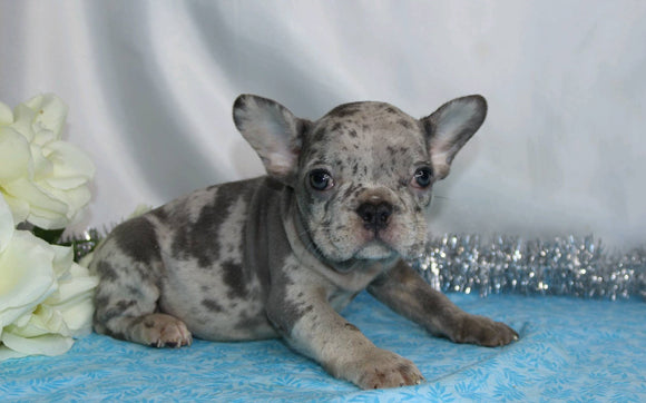 AKC Registered French Bulldog For Sale Wooster, OH Male- Hudson