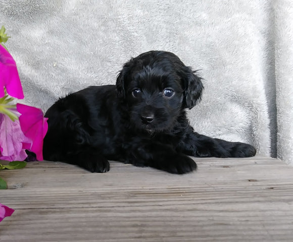 F1B Mini Labradoodle For Sale Millersburg, OH Female- Huggables
