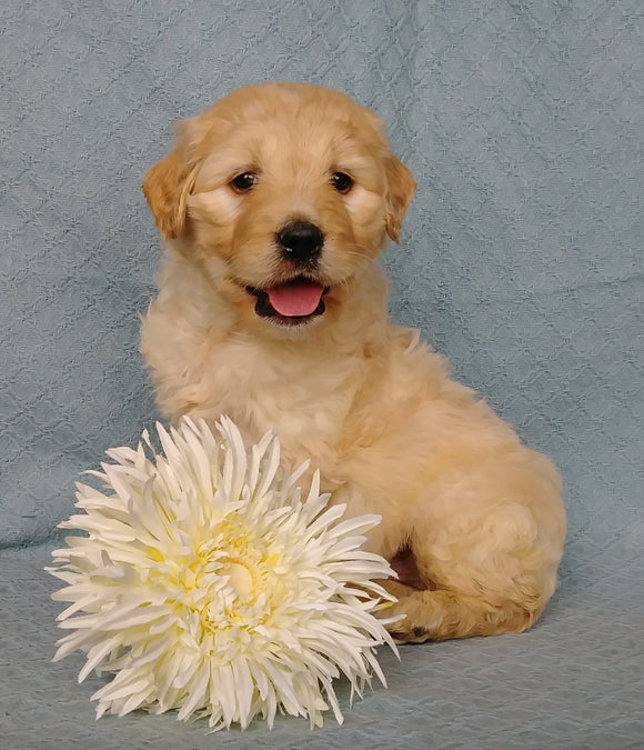Goldendoodle For Sale Millersburg, OH Male- Huggables