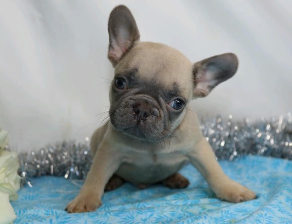 AKC Registered French Bulldog For Sale Wooster, OH Male- Hugo