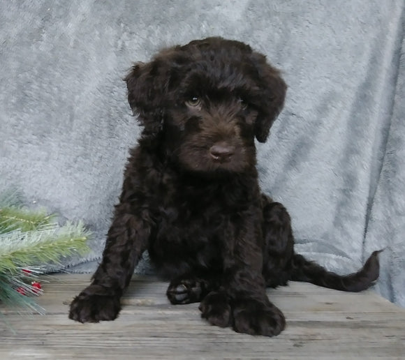 Medium F1B Labradoodle For Sale Millersburg, OH Male- Hunter
