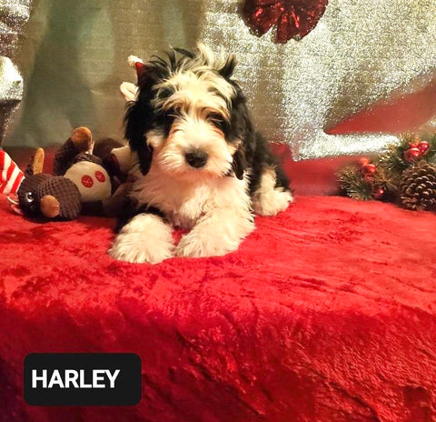 Mini Bernedoodle -Tri Color- For Sale Fredericksburg, OH Male- Harley