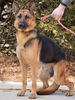 AKC Registered German Shepherd For Sale Fredericksburg, OH Male- Dakota