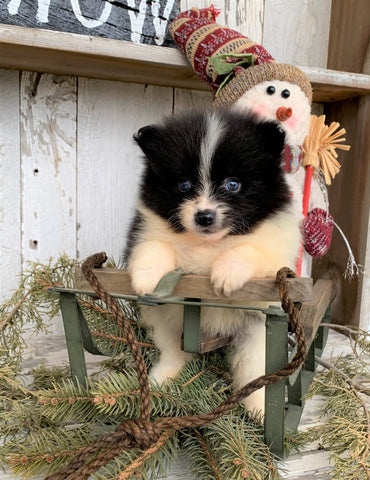 ACA Registered Pomeranian For Sale Millersburg, OH Male- Frankie