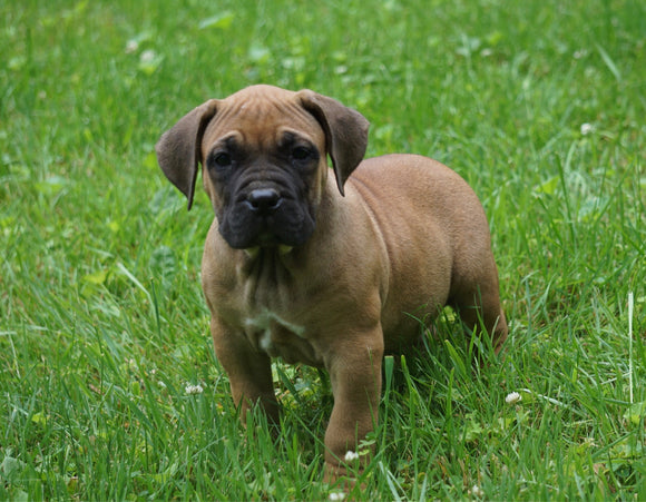 Presa Canario Puppy For Sale Fresno OH Male Rusty