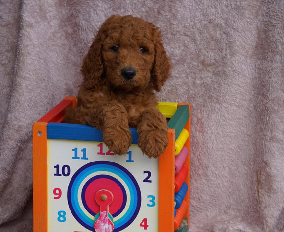 AKC Registered Standard Poodle For Sale Apple Creek, OH Male- Nicholas