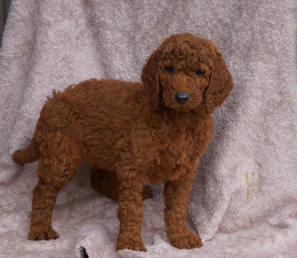 AKC Registered Standard Poodle For Sale Apple Creek, OH Female- Vanessa