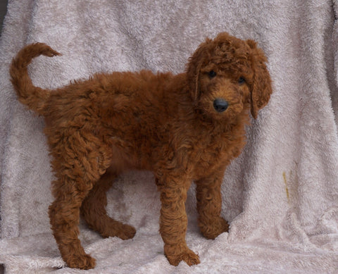 AKC Registered Standard Poodle For Sale Apple Creek, OH Female- Tara