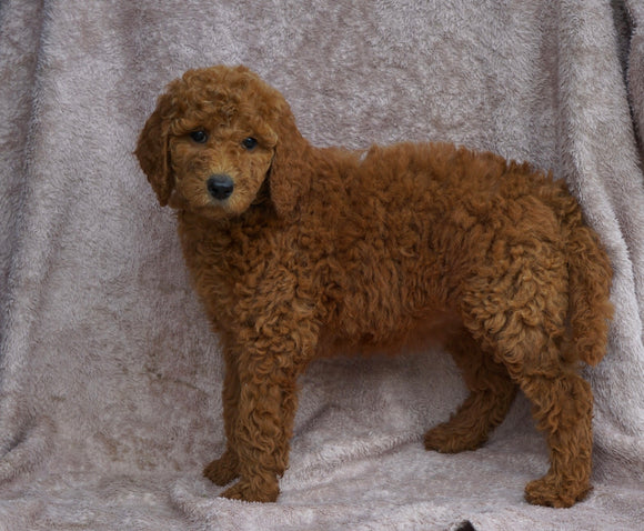 AKC Registered Standard Poodle For Sale Apple Creek, OH female- Sofia