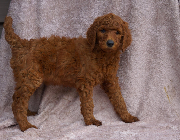 AKC Registered Standard Poodle For Sale Apple Creek, OH Female-Rose