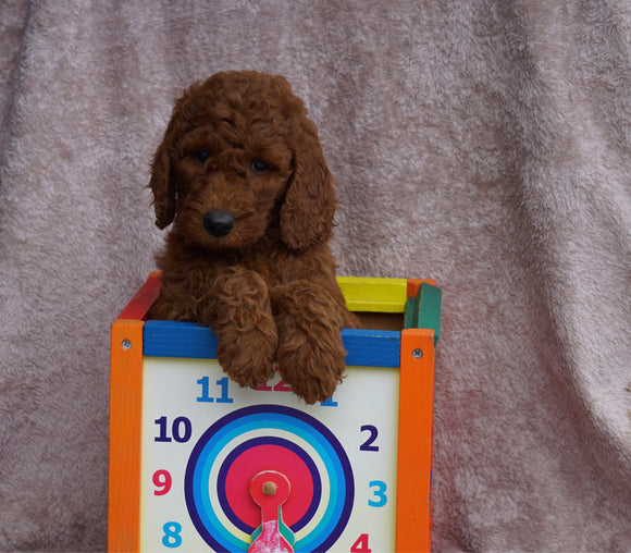 AKC Registered Standard Poodle For Sale Apple Creek, OH Female- Pamela