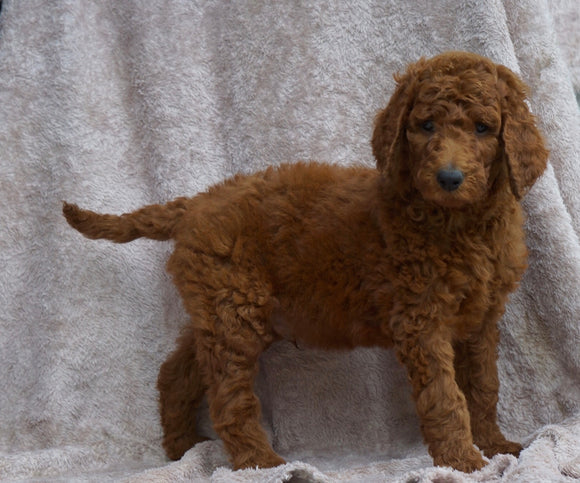 AKC Registered Standard Poodle For Sale Apple Creek, OH Male- Oliver