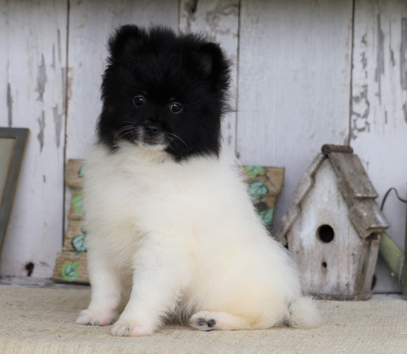 Pomeranian For Sale Millersburg, OH Male- Charles