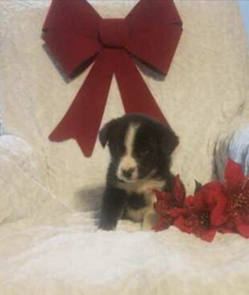 Siberian Husky Mix For Sale Warsaw, OH Female- Bella